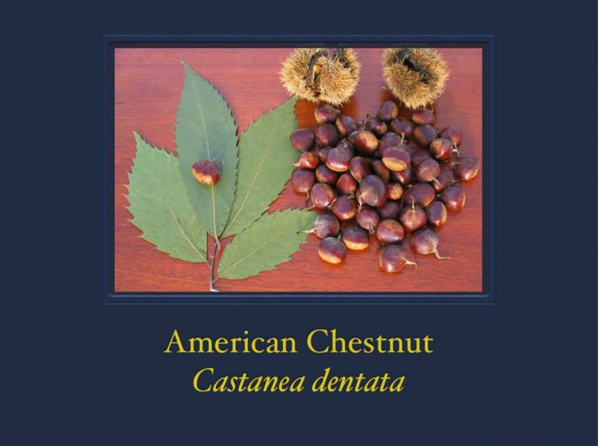 Wood Identification: The American Chestnut – Castanea dentata